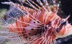 Cazan más de 2 mil destructivos peces león en Estados Unidos