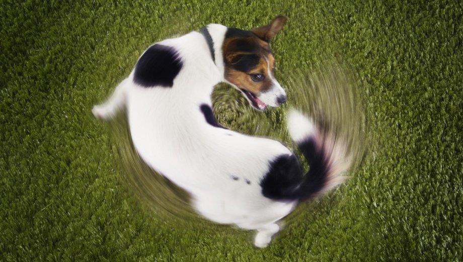 Entiende a tu mascota: ¿Qué dice tu perro cuando mueve la cola?