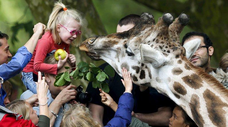 Una niña se asustó cuando una jirafa se le acercó para quitarle una manzana. Sucedió en un zoológico de Bélgica. (Foto: Reuters/Francois Lenoir)