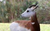 Las casi extintas gacelas Mohor regresan al Sáhara [VIDEO]