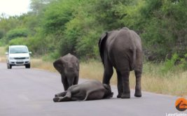Pequeño elefante es salvado por manada tras colapsar [VIDEO]