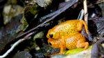 Científicos descubren siete nuevas ranas minúsculas en Brasil - Noticias de especies endémicas