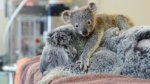 Koala bebe no se despega de su madre durante cirugía - Noticias de steve irwin