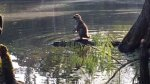 Captan a un mapache montado sobre un caimán en EE.UU. - Noticias de caimanes