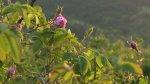 Bulgaria cosecha sus famosas rosas [VIDEO] - Noticias de rocío calderón