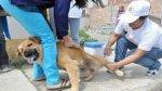 En Moquegua vacunaron a más de 14.500 perros contra la rabia - Noticias de campaña de vacunación