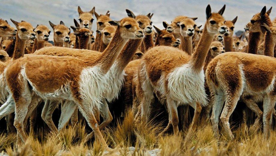 El chaccu, milenaria tradición para trasquilar vicuñas [FOTOS]