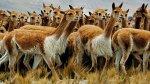 El chaccu, milenaria tradición para trasquilar vicuñas [FOTOS] - Noticias de puquio