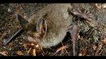 Descubren fósil de un murciélago que andaba en cuatro patas - Noticias de un millon de pie