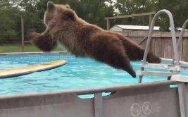Oso con calor se tira una y otra vez a una piscina [VIDEO]