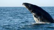 Ballenas jorobadas ya son avistadas en el mar de Piura