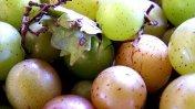 Aceite de semillas de uva ayudaría a reducir la obesidad