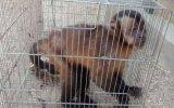 Serfor rescató a monos y a un guacamayo en Piura