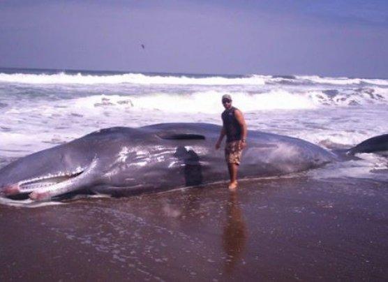 Cetáceo de unos 11 metros varó en playa de Tacna