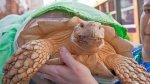 Wasabi, la tortuga gigante 'terapéutica' - Noticias de red uno