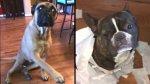 Perro delató a su compañera del desorden en la casa [VIDEO] - Noticias de
