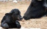 Parque de las Leyendas: conoce a búfalo de agua recién nacido