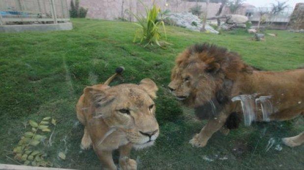 Parque de Las Leyendas: animales están mal alimentados