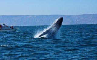 En busca del norte: las ballenas jorobadas llegan al Perú