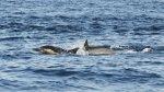 En busca del norte: las ballenas jorobadas llegan al Perú - Noticias de avistamiento de ballenas