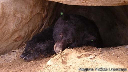 Los osos pardos pueden pasar hasta seis meses hibernando.