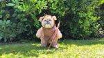 Este perro es lo más cercano que tendremos a un ewok real - Noticias de teddy bear