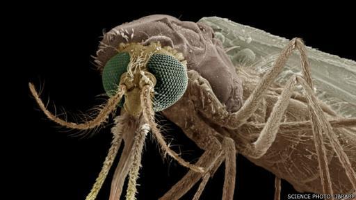 La estrategia de los mosquitos es