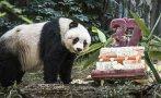 El oso panda más longevo en cautiverio celebra su cumpleaños