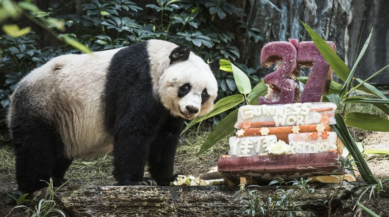 Jia Jia, un oso panda hembra, posa junto a su torta de cumpleaños. (Foto: AFP/ Philippe Lopez)