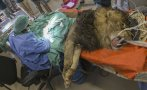 Veterinarios salvan a león extirpándole un tumor