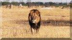 El león Cecil, la emoción de la caza y la extinción de animales - Noticias de trabajo comunitario