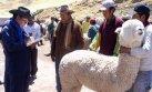 Puno celebra el Día Nacional de la Alpaca