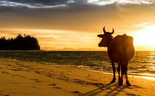 Paraíso vacuno: las vacas se adueñan de las playas en Goa