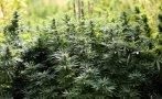 Yungay: intervienen 1500 metros cuadrados de marihuana