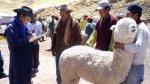 Puno celebra el Día Nacional de la Alpaca - Noticias de fibra de alpaca