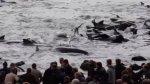 Denuncian matanza de 250 ballenas piloto en Islas Feroe - Noticias de c��sar vento