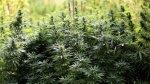 Yungay: intervienen 1500 metros cuadrados de marihuana - Noticias de antecedentes policiales