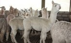 Puno: Invertirán más de S/.80 mlls. en crianza de alpacas