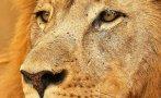 Más allá de Cecil, siete razones para amar a los leones