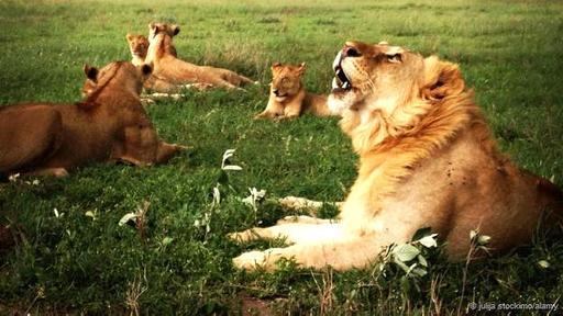 Se cree que los leones  rugen para comunicarse a larga distancia. Pero los científicos no han logrado explicar por qué lo hacen con bajas frecuencias.