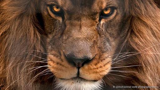 El destino del león del Atlas sigue siendo un enigma.