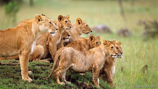 Luego de años de debates, un estudio de más de 40 manadas concluyó que los leones forman grupos para defender su territorio de potenciales competidores.