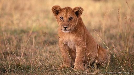 Los leones con melenas más oscuras producen crías con mayores probabilidades de sobrevivir.