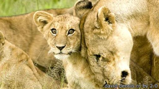 El ancestro común más reciente de los leones modernos vivió hace alrededor de 124.000 años