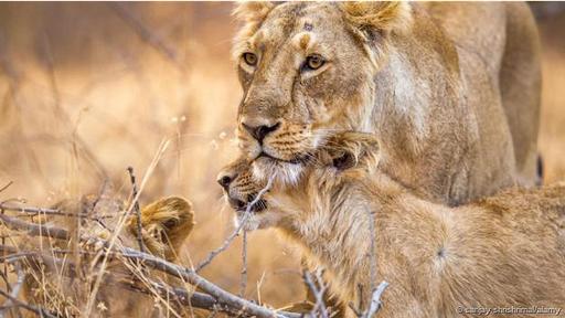 El león asiático se recupera lentamente en India, pero poblaciones enteras de leones en África han sido exterminadas por la actividad humana.