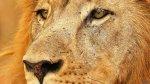 Más allá de Cecil, siete razones para amar a los leones - Noticias de universidad durham