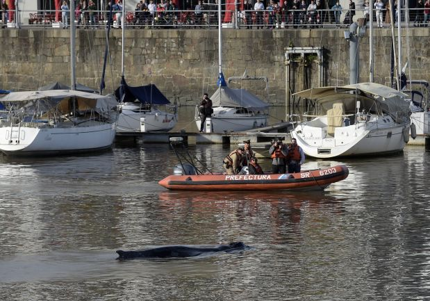 A stranded right whale is seen at Puerto Madero harbour in Buenos Aires on August 3, 2015. AFP PHOTO / JUAN MABROMATA