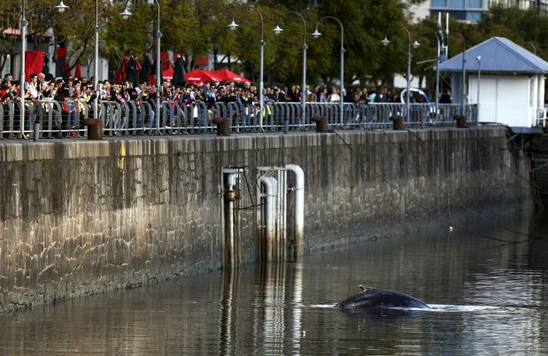 A stranded humpback whale surfaces at the docks of Puerto Madero neighbourhood as people watch in Buenos Aires, Argentina, August 3, 2015. REUTERS/Marcos Brindicci      TPX IMAGES OF THE DAY