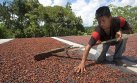 El cultivo de cacao estaría afectando la Amazonía