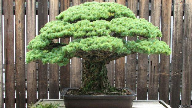 Este bonsái sobrevivió a la bomba atómica. (Foto: Stage Ross)